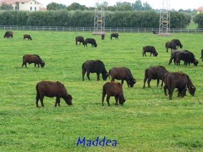 Buffalo for milk of mozzarella at ten minutes close Formia