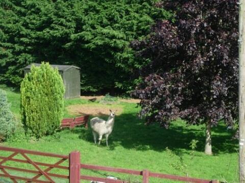 garden with Mimi the  llama