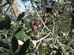 olives ready for the harvest
