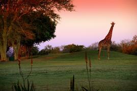 Property Photo: Giraffe Roam the Estate