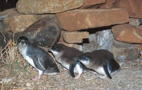See Little Penguins in the wild