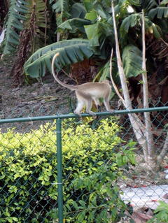 visiting green monkey!