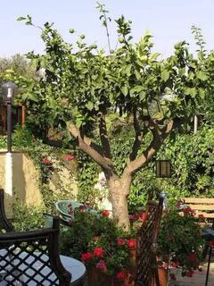 Property Photo: one of our lemon trees