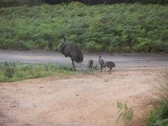 Our local emus