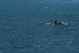 dolphin watch close