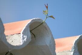 climbing jasmine on the front terrace