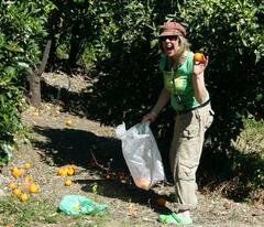 Picking oranges in January