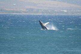 Property Photo: Whale Watching from the Lanai in the winter is a great pastime (4-25 whales a day have been spotted)