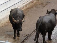 Buffalo for milk of mozzarella