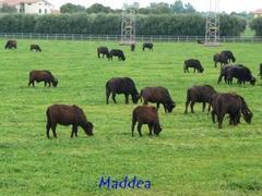 Property Photo: Buffalo for milk of mozzarella