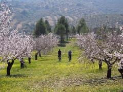 Cycling in the Almond Blossom