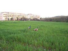 Peacocks in the field behind the apartment