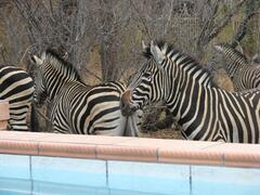 Property Photo: Zebra's at the splashpool
