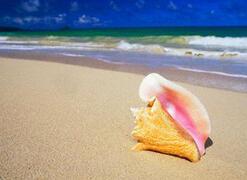 Conch on the beach