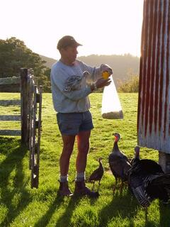 Early Morning Turkey feeding!
