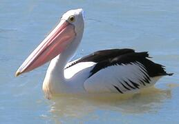 Pelican right next to boat
