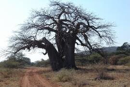 Property Photo:  baobab tree