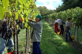 The grapes-harvest in our vineyards all around the estate. On September, you may take part, if you like!!