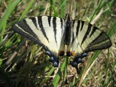 swallowtail butterfly-so many butterflies, so many wild flowers