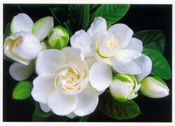 Beautiful Gardenias