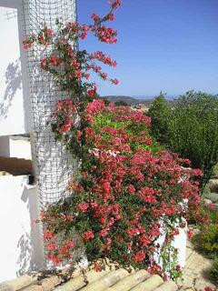 The magnificent Bouganvillea