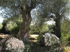 Ancient Olive Trees in the Garden