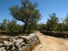 A Walk Through the Olive Groves