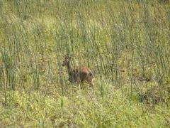 Our wild deer in our lake
