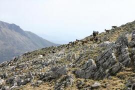 Wild goats in the surroundings